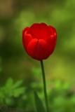 tulipan_g