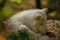 vlk_arkticky