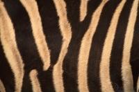 zebra_chapmannova2_g