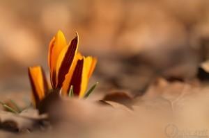 Šafrán setý (Crocus sativus)