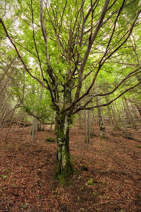 Strom ve svahu