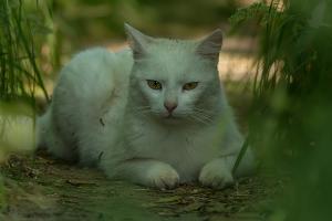 Kočka domácí - valtická